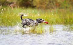 30.7 (218) (Contact: krista.rosenlof@gmail.com (Fin, Eng)) Tags: toberoi apache riemu joy blue merle bordercollie border collie swimming swim summer water lighthouse toy dog