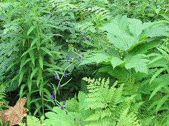 CaptainCookSRA24 (alicia.garbelman) Tags: plants alaska kenaipeninsula captaincookstaterecreationarea monkshood