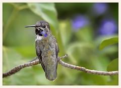Hummingbird (gauchocat) Tags: arizonasonoradesertmuseum tucsonarizona