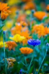 5C8A7667 (pbruch) Tags: calgary prairies grain canola growing seaon flowers flowering rape seed dirt road endless horizons