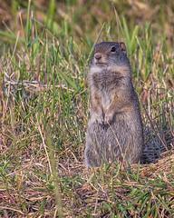 GROUND SQUIRREL, Uinta (teddcenter) Tags: antelopeflats grandtetonnationalpark groundsquirrel mammal rodent squirrel tetoncounty uintagroundsquirrel wyoming