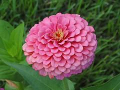 DSC00392 (gregnboutz) Tags: flower flowers bloomingflower bloomingflowers brightflowers colorfulflower colorfulflowers colorfulzinnias colorfulmacros colorfulmacro macro macros macroflowers macroflower