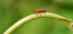 a little soldier beetle........... (Suzie Noble) Tags: soldierbeetle beetle strathglass struy insect invertebrate garden field