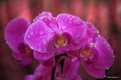 Phalaenopsis (Max Jongkoen) Tags: phalaenopsis drops droplet orchidee orchid water waterdrop