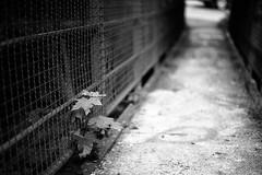 A moody bridge (Leica M6) (stefankamert) Tags: stefankamert leica m6 m rangefinder voigtlnder nokton ilford fp4 grain dof bokeh film analog blackandwhite blackwhite sw bw baw bridge plant tones grey black