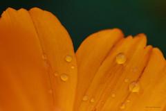 IMG_0452 (kshashikantt) Tags: nature drops flower flowershow bangalore afterrain beauty beautiful yellow