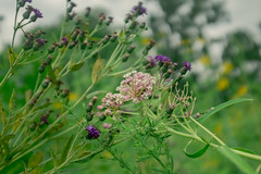 (amy buxton) Tags: amybuxton forestpark fujifilmx100s natural nature prairie savanna stlouis summer ironweed milkweed