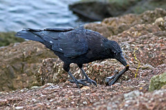 Carrion Crow (Corvus corone ) - Hunting eel !! (Mid Glam Sam1) Tags: crow eel hunting killing eating adaptable corvid corvidae wales carrioncrow corvuscorone