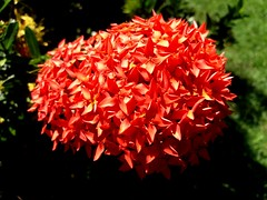Ixora flowers (Esteban 507) Tags: ixora flowers jardin garden floresdepanam naturaleza nature plants bouquet buque flores photograpy photographer fotografia fotografo