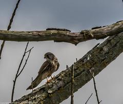 9Q6A7134 (2) (Alinbidford) Tags: alinbidford alancurtis brandonmarsh kingfisher greyheron heron kestrel