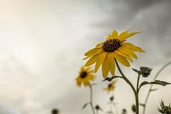 I can feel the change in me. (Caroleyene) Tags: tooelecounty summer sunflower gloom