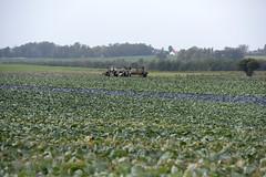 Landwirtschaft in Polen (Agentur snapshot-photography) Tags: 012200 agriculture anbau anbaugebiet business ernte erntezeit europa feld felder kohl landwirtschaft natur poland polen symbolbild symbolfoto symbolfotos weisskohl wirtschaft gemüseanbau baloszycemate pol
