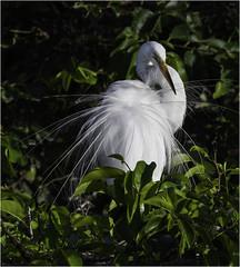 Great Egret ( Preening ) (billkominsky ) Tags: naturethroughthelens