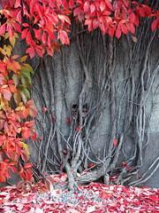 Angkor Thom feeling at our quarter... (Lalallallala) Tags: helsinki finland suomi outdoors autumn autumncolours parthenocissusquinquefolia kivelänkatu töölö climber