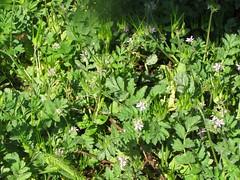 Flores silvestres (patriciamura) Tags: silvestre planta agujas aguja