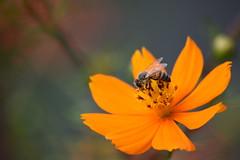 DSC_0424 (Kelson Souza) Tags: flor flores primavera flower flowers natureza beleza jardim jardinagem garden gardens colorido floricultura petalas ptalas florescer abelha abelhas bee bees