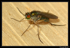 Dolichopus sp. femelle (Dolichopus nitidus ?) (cquintin) Tags: arthropoda diptera dolichopus dolichopodidae nitidus macroinsectes