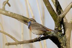 Blauwborst-8579 (Djien) Tags: vogels oostvaarderplassen