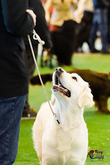 Friend (Maquieira Photography) Tags: interior comida perro momento cachorro labradorretriever concurso sonrisa alegre espera vigo divertido simpático marrón contento atención expocan ifevi