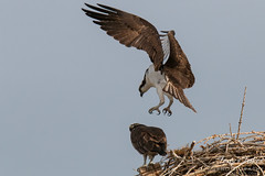 Some Osprey mating action