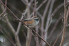 """""""That's my cue!"""" (Jon.the.canadian) Tags: trees wild cute bird nature birds forest natural posing chick chickadee perched dee awe habitat aw boreal songbird songbirds chestnutbacked"""