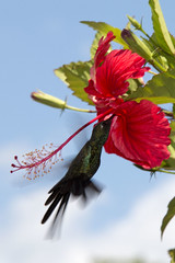 Zunzún (RubénRamosBlanco) Tags: naturaleza flower nature birds wildlife flor cuba aves animales sipping sip pinardelrío libando valledeviñales cubanemerald chlorostilbonricordii zunzún chlric
