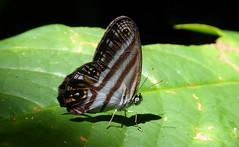 P1250809b Chloreuptychia herseis (Andrew Neild, UK) Tags: