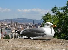 La siesta (Luc1659) Tags: portrait mare seagull riposo gaviota barcellona gabbiano mouette