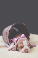 (Tc photography. Per) Tags: pink dog pet baby pets cute beagle girl animal canon puppy studio photoshoot loop softness cutedog doggie beagles pupies tcphotography