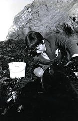 Lifting kelp (PUC Special Collections) Tags: california coastal mendocino 1960s norcal 1970s biology tidepools puc albion estuaries mendocinocounty pacificunioncollege albionfieldstation albionbiologicalfieldstation pucbiologydepartment
