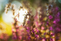 Chaos (Stefan Sellmer) Tags: flowers sun color bokeh