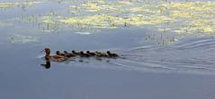 Mrs. Tufty And Her Babies! (RiverCrouchWalker) Tags: tuftedduck duck ducklings lake rhs rhshydehall aythyafuligula family july summer 2016 bird rettendon essex