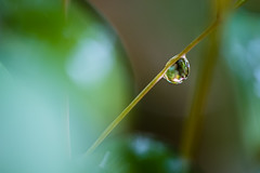 (Brad.S.Cook) Tags: droplet macro water leaf bush nikon panasonic gm5 85mm winter fresh rain