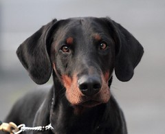 Gunner (Dls Bute) Tags: kriegerdobermann handsome closeup stunningdog dobermann dog doberman gunner