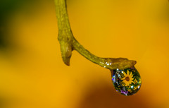 Only one drop - but this means the Life... (lkiraly72) Tags: life flower macro water yellow bright drop depthoffield