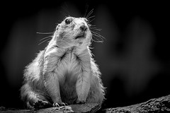 Prairie dog (m_hamad) Tags: nature naturebeauty greatnature explore nationalgeographic park farm dazzlingshot wildlife beauty canon usa 7dmkii dc blinkagain ultimateshot supershot nationalzoo nationalzoodc zoo portrait mammal animal animals pet blackandwhite blacknwhite