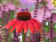 Radiance ( Bo ) Tags: echinacea flower plant garden outdoor backyard nature yard macro bokeh petal canong16 powershot dof summer2016 july england britain uk europe european one single sole colour red pink mauve purple yellow brown fawn lilac white colourful radiance floralphotography spike ngc npc