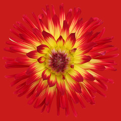 Weston Spanish Dancer (brianrosshaslam) Tags: dahlia red redbackground westonspanishdancer