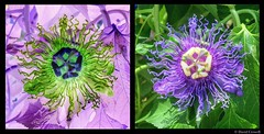 Flowers - Clematis (With Color Inversion) (zendt66) Tags: flowers flower color photo nikon image border clematis picasa theme inversion dual inverted weekly challenge hdr photomatix zendt invertedcolor d7200 zendt66 52weeks2016
