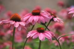 Summer Pink (moodyfan (Julie)) Tags: pink echinacea flowers summer color garden