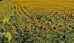 Summer vibrations (Fabio Pratali LI) Tags: sunflowers campagna estate