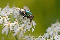 Schmeifliege (DianaFE) Tags: dianafe insekt fliege blume pflanze tiefenschrfe schrfentiefe makro freihandmakro