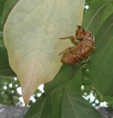 (C. Neil Scott) Tags: westcolumbiasc southcarolina cicada insect bug shell leaf leaves bokeh