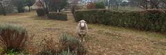 Visiting Sheep (Merryjack) Tags: 3840x1280 31 pano sheep stubborn badboy
