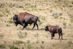 Bison & Calf, Yellowstone (HubbleColor {Zolt}) Tags: travel wildlife yellowstonenationalpark bison wy wyoming