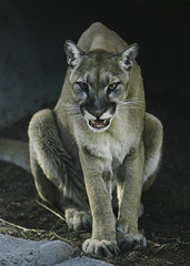 A Snarl and a Hiss (Paul E.M.) Tags: cougar mountain lion puma cat