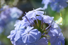 Summertime (C-Smooth) Tags: plumbago garden floral beauty flowers summer flora nature fleur delightful delicate love soft botanical