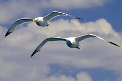 Dueto (alfonsocarlospalencia) Tags: gaviotas dueto grecia islas jnicas nubes pareja cielo mirada azul blanco alas planeo acompasadas two due dos pair couple duet