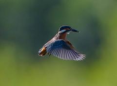 Kingfisher Juvenile Alcedo atthis 020-1 (cwoodend..........Thanks) Tags: 2016 brandon brandonmarsh steetleyhide westmarshpool wwt warwickshirewildlifetrust kingfisher kingfisherhovering alcedoatthis kingfisherjuvenile