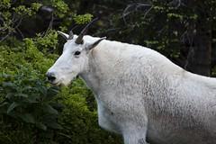 Mountain Goat 11 (Craig Tata) Tags: animals gnp glacier glaciernationalpark goats mountaingoats nationalparks nature places